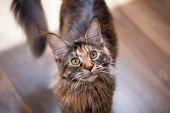 Fluffy tortoiseshell kitty on a floor at home. Portrait of domestic Maine Coon kitten, top view poin poster