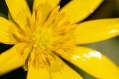 Spring Bloom Of Yellow Flower Primrose Or Buttercup Spring (ranunculus Ficaria) (ficaria Verna). Mac poster