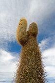 stock photo of peyote  - Cardon cactus at Isla de Pescado bolivia - JPG