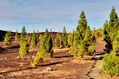 pic of rich soil  - Evergreen pines growing in the mineral  - JPG