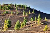 foto of rich soil  - Pine Trees growing in the mineral - JPG