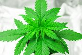 Close Up. Growing Marijuana At Home Indoor. Cultivation Growing Under Led Light. Vegetation Of Canna poster