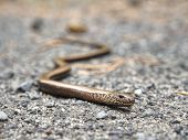 Juvenile Slow Worm ( Anguis Colchica ) In Detail. Portrait Of Eastern Slow Worm - The Lizard Often C poster