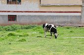 Donkeys, Animals, Rural, Country Side, Peru, Cuzco, Souther America Cow Enjoying The Grass And The S poster