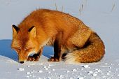 Fox On The Snow Looking For A Mouse Trail.  Fox, Common Or Red Fox (vulpes Vulpes) Is A Predatory Ma poster