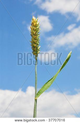 Wheat (triticum Aestivum)