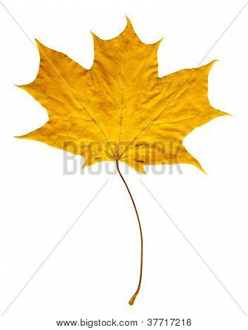 Autumn Leaf Yellow-red 1