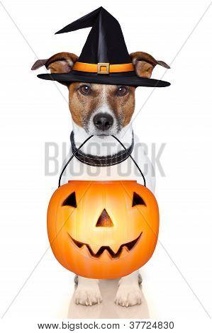 Halloween Pumpkin Witch Dog