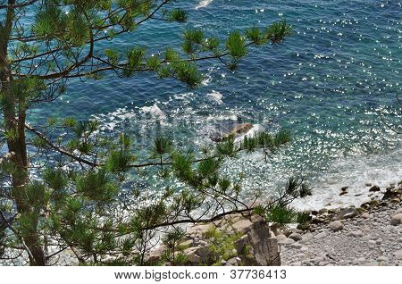Pine Above Sea