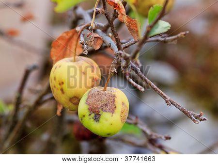 hailed apple, summer end, beginning of autumn