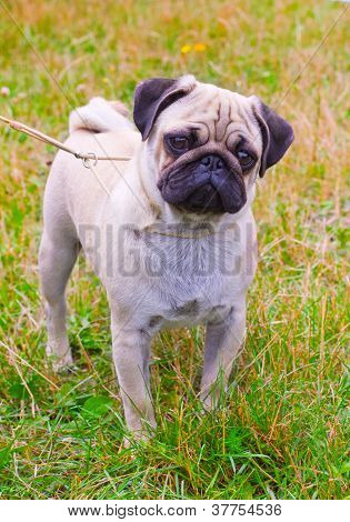 Dog Fawn Pug Breed On Green Grass In Summer