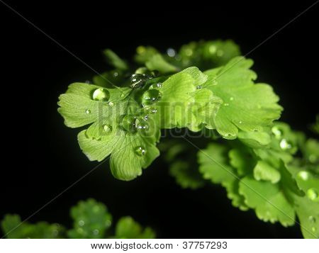 Maidenhair fern with rain drop