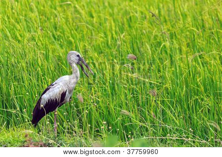 Asian Openbill Stock Bird In The Rice Field.