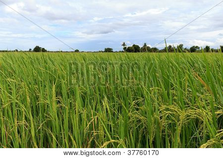 Rice Field With Cloud
