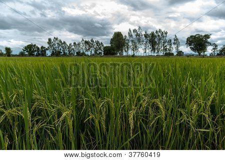 Rice Field With Rain Cloud