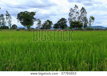 Rice Field Green Grass