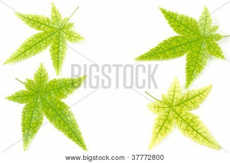 Maple leaves with prominent veins