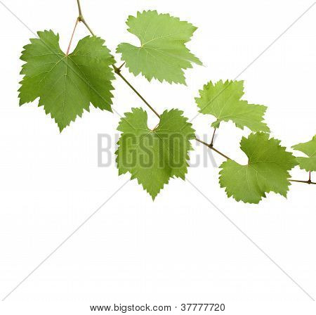 Green Grapevine Leaves