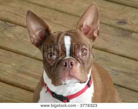 Penny The Boston Terrier