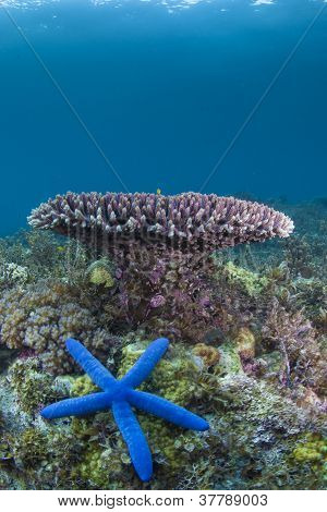 bright blue starfish