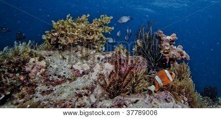 clownfish reef scape