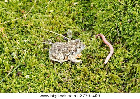 Garlic Spadefoot Toad Pelobates Fuscus Earthworm