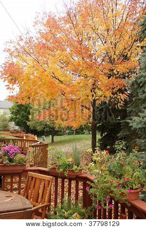 The colorful maple tree shows beautiful color on an overcast fall day.