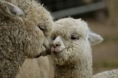 stock photo of alpaca  - this is a close up of a mother and daughter alpaca - JPG