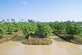 Papaya tree in the farmland