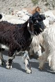 stock photo of cashmere goat  - Black kashmir  - JPG