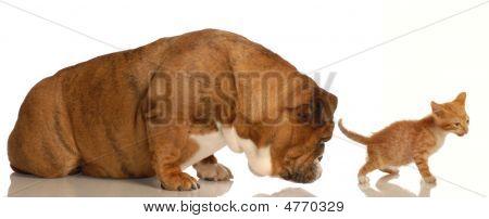 Bulldog Sniffing Kittens Backside