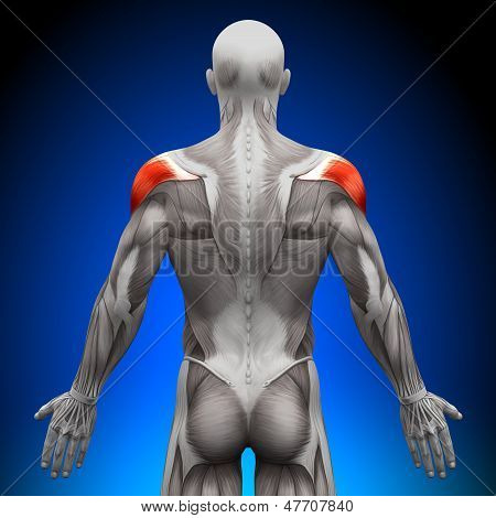 Shoulders - Anatomy Muscles
