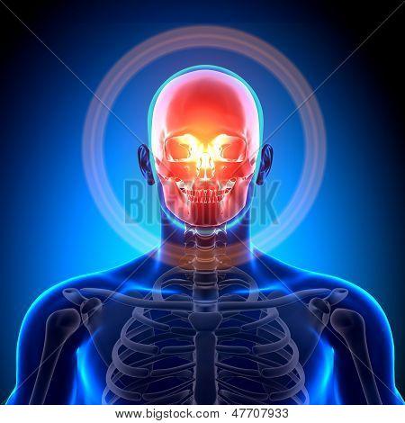 Cranium / Skull / Mandible - Anatomy Bones