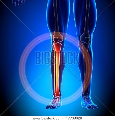 Tibia / Fibula - Calf Anatomy - Anatomy Bones