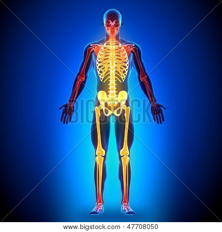 Skeleton - Anatomy Bones