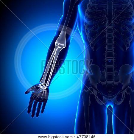 Radio / cúbito - huesos de la anatomía