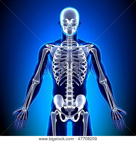 Skeleton Front - Anatomy Bones