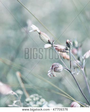 White Campion (Silene latifolia)