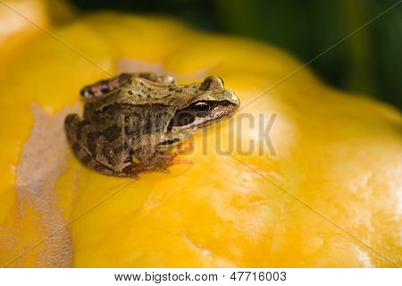 Frog On The Pumpkin