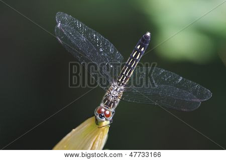 Female Blue Dasher