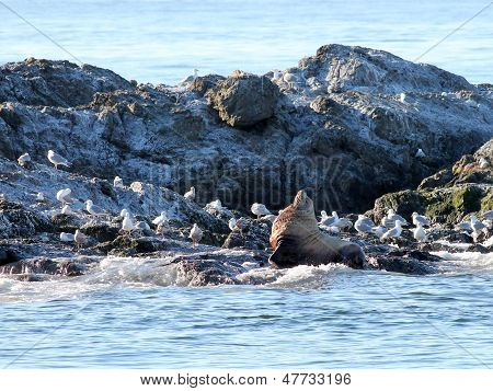 Steller Sea Lion with Gulls