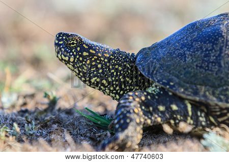 European Bog Turtle (emys Orbicularis)