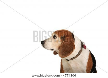 Beagle Looking Left