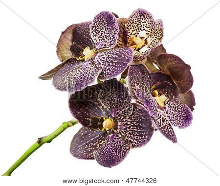 Dark Tiger Orchid Isolated On White Background.
