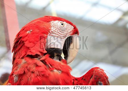 Red Scarlet Macaw In A Zoo