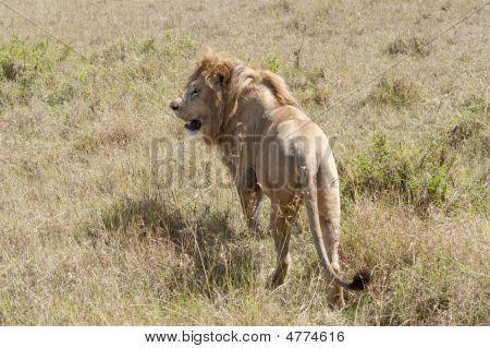 African Lion  Standing  Iin Short Grass