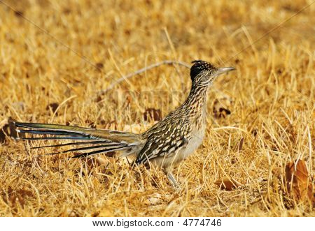 Roadrunner In Dry Field