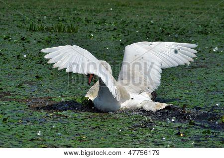 White swan in the Danube Delta, Romania