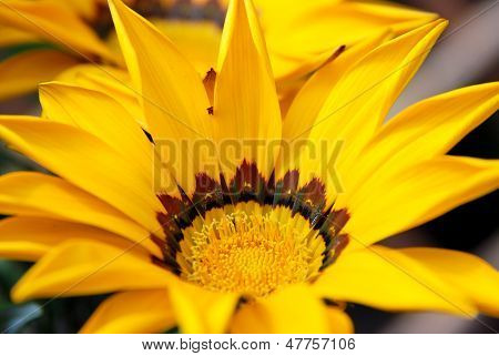 Gazania Flower With Bright Yellow Petals