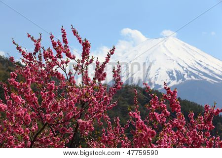 Cherry Blossoms and Mt. Fuji in the Background